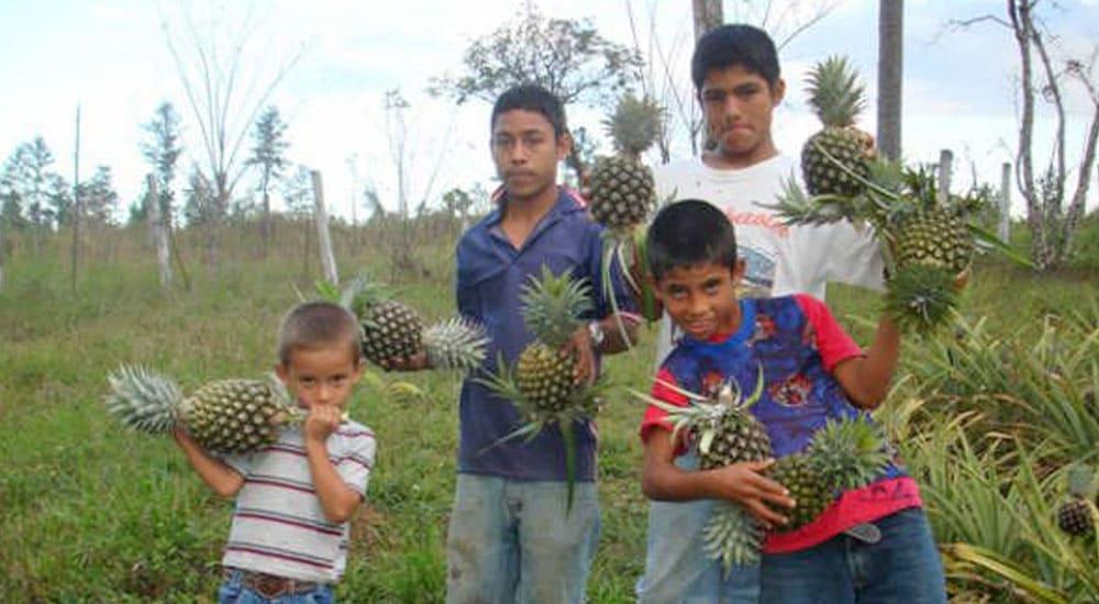 Ananas-Anbau im Kinderdorf Los Pinos, CFI-Kinderhilfe