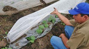 Jalapeno-Chilis Anbau im Kinderdorf Mexiko, CFI Kinderhilfe