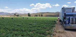 Erfolgreiche Landwirtschaft im Kinderdorf Mexiko, Pfeffer-Anbau